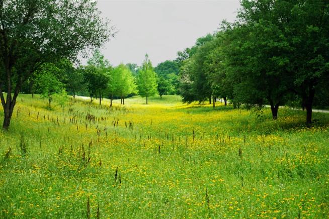 F1 fields of yellow flowers